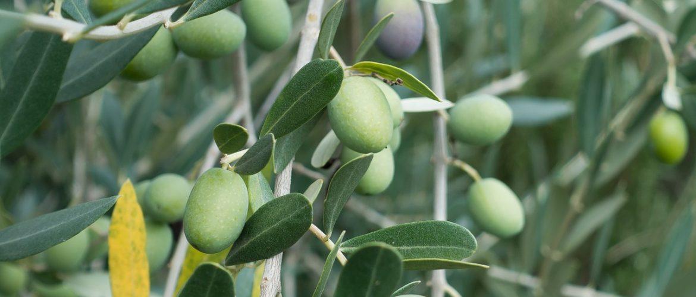 piante di olivo di 5 anni